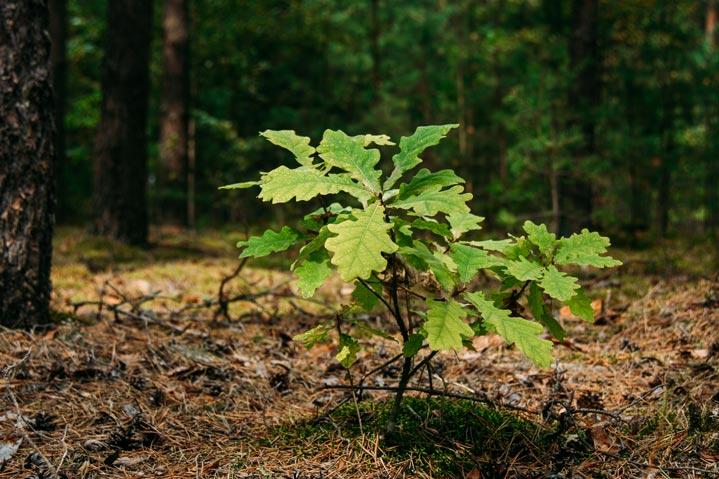 Plantation d'un jeune chêne
